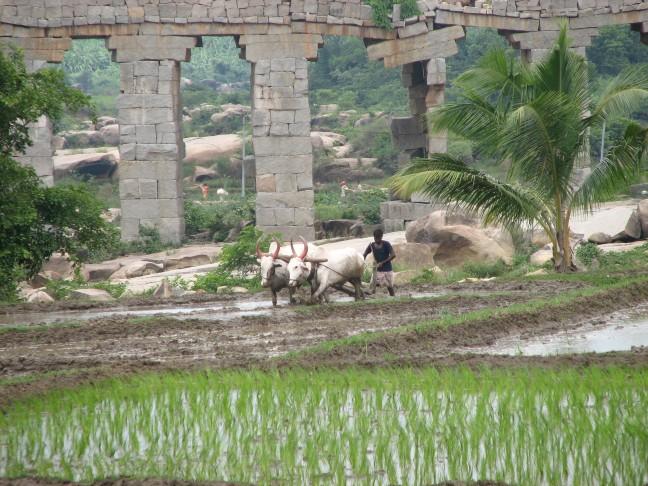 Ploegen in de rijstvelden
