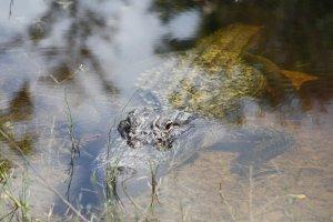 Alerte Alligator