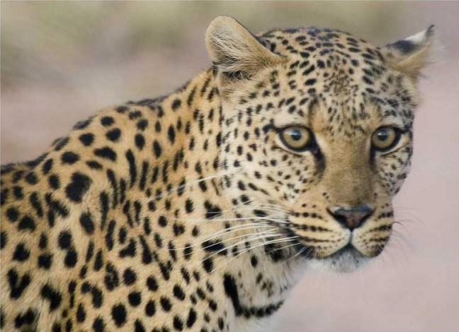 Oog in oog met het luipaard