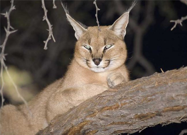 Caracal in boom