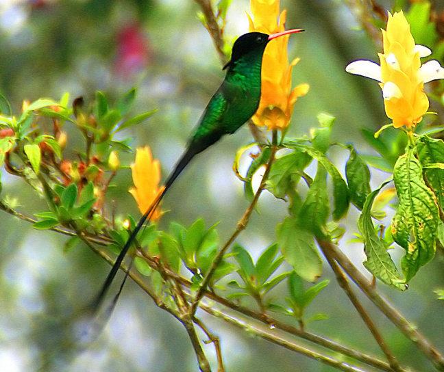 wimpelstaart kolibri
