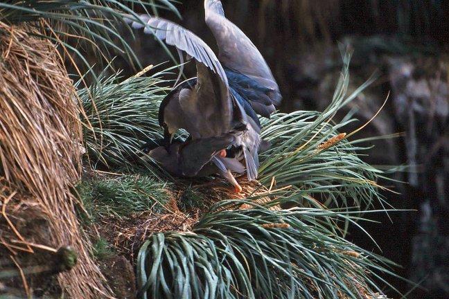 Parend paartje Black crowned night heron bij Port Stanley