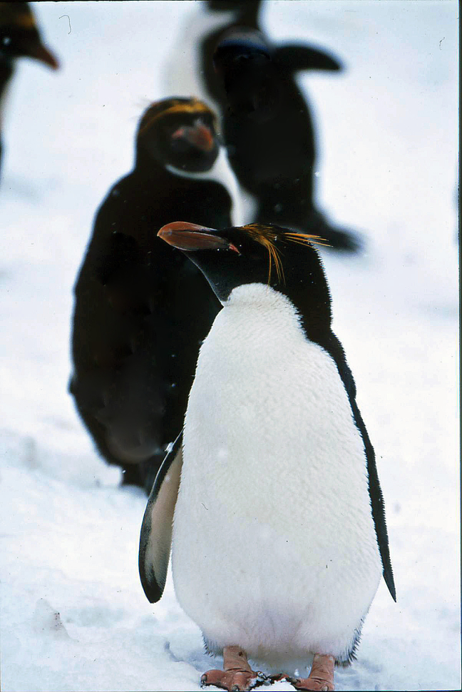 Macaronipinguins