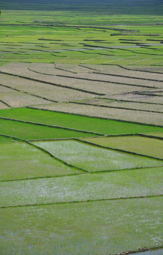 eindeloos veel rijst