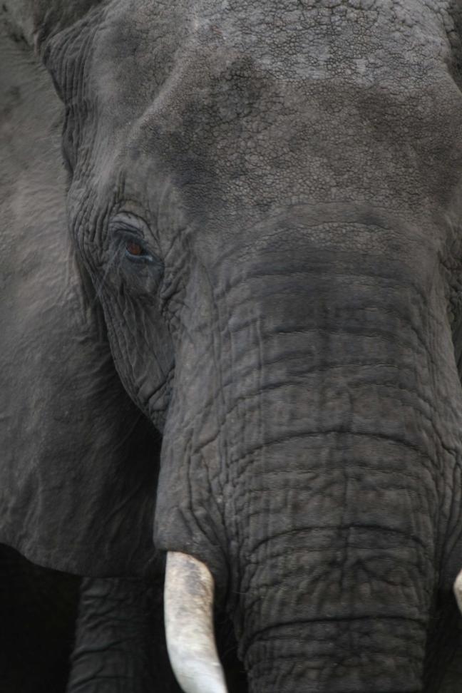 olifant van kortbij