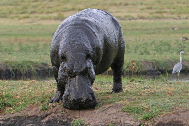 dreigend nijlpaard