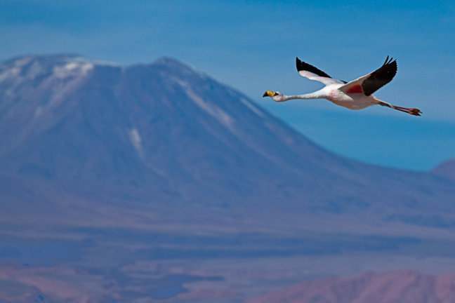 flamingo, Salar de Atacama
