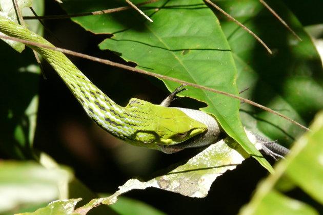 Maleisische boomslang verorbert gekko