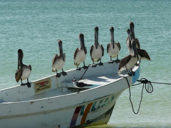 Pelikanen op Isla Holbox