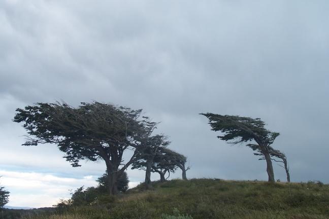 Typische Patagonische boomhouding, Vuurland