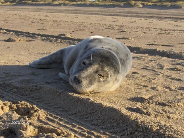 Jonge zeehond op t strand bij Vrouwepolder
