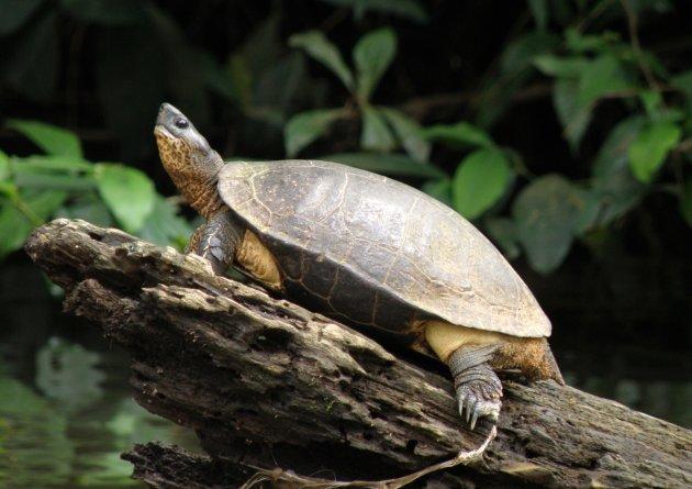 Carlos de Schildpad