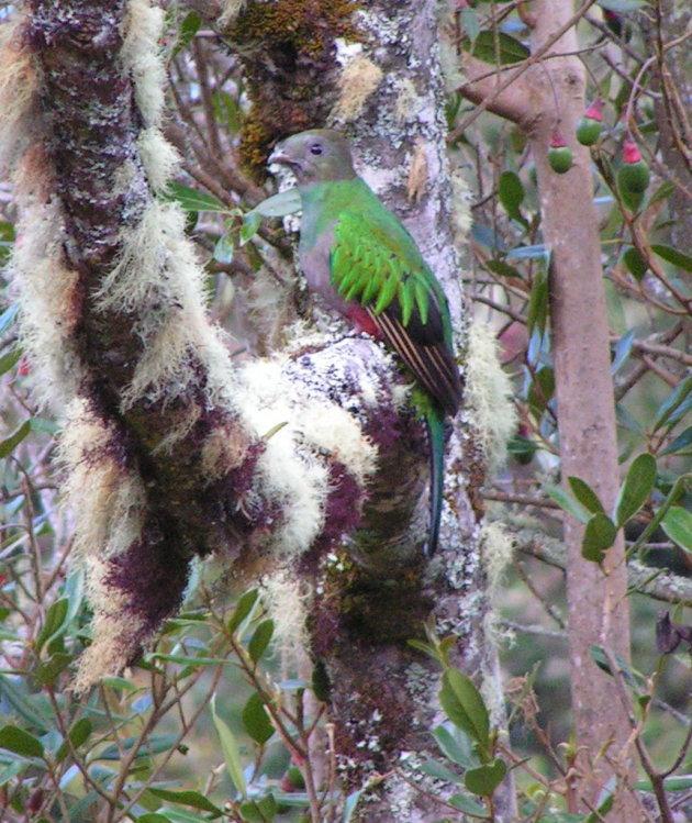 quetzal (vr.)