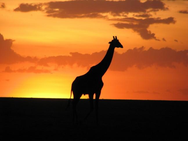 Giraffe in avondzon