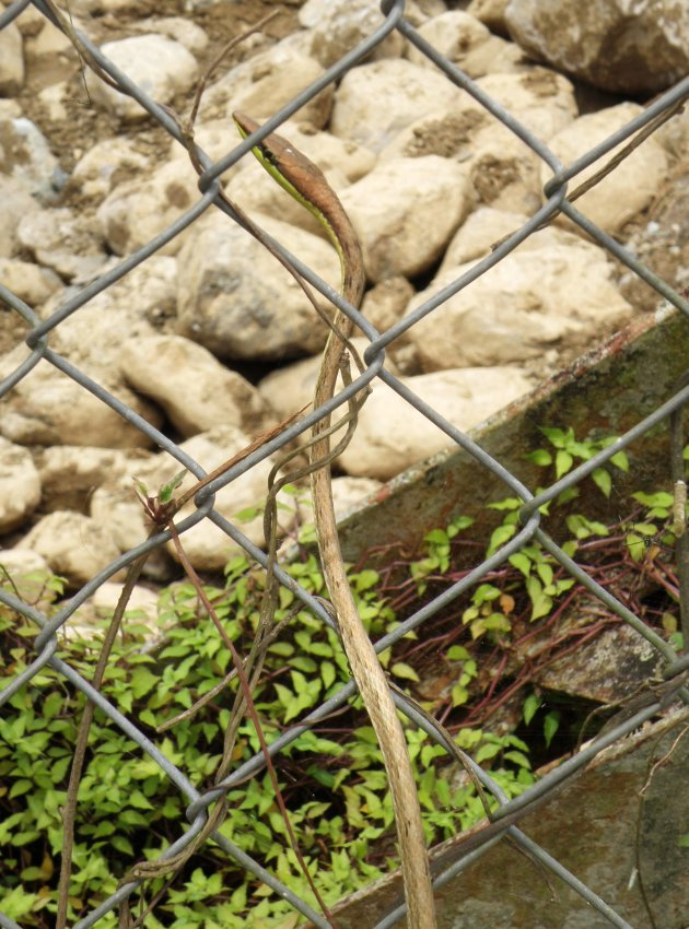 spitsneus slang