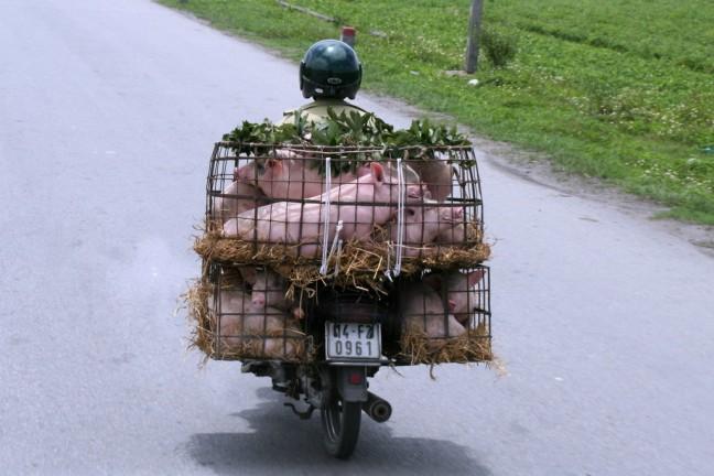 varkens vervoer