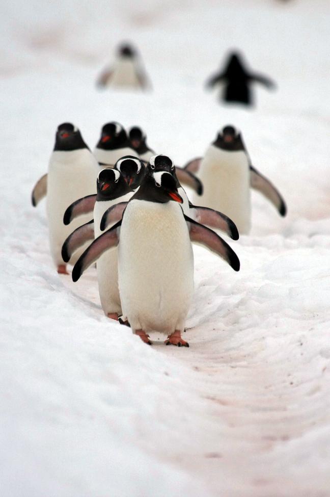 pinguinsnelweg