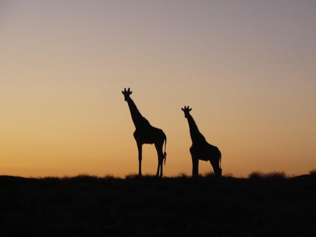 Giraffen in het donker