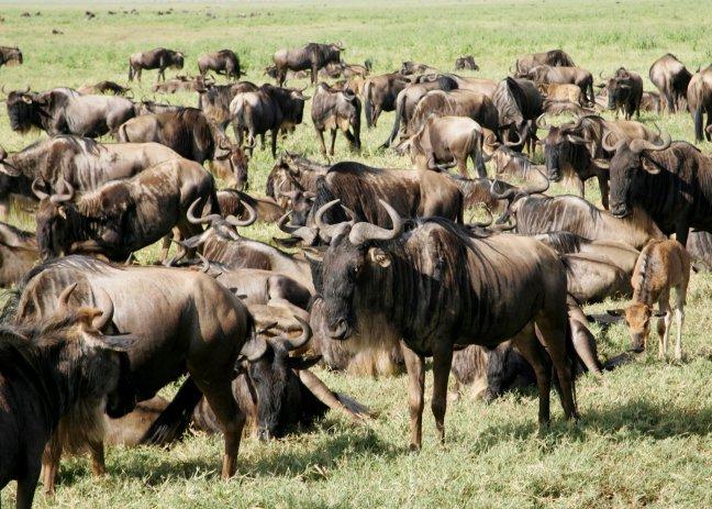 Wildebeesten tijdens de trek