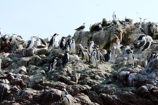 20090514 Pinguins van de Ballestas eilanden