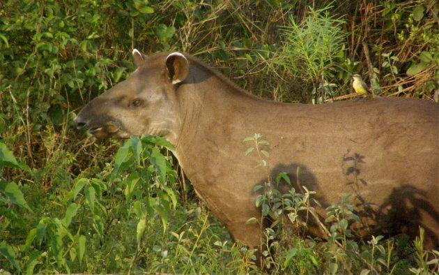 Tapir !