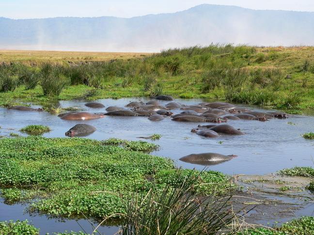 meertje vol met nijlpaarden
