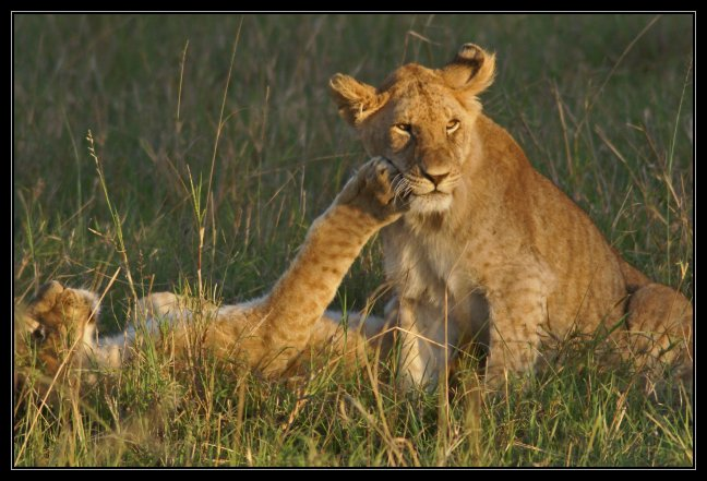 aai leeuw