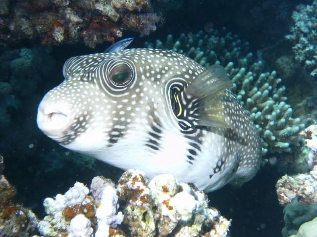 kogelvis met poetsvis