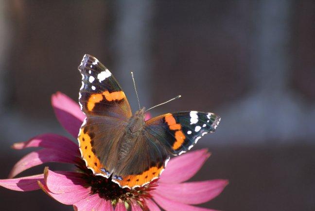 vlinderen