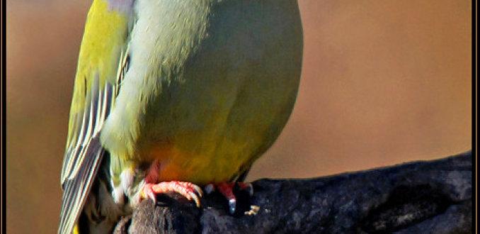 Papegaaiduif