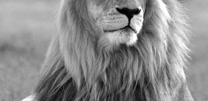 Leeuw in Z-Afrika