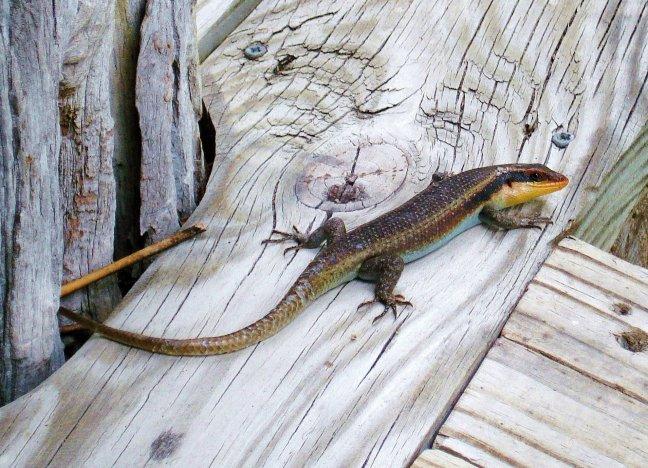 Chobe Dwarf Gecko