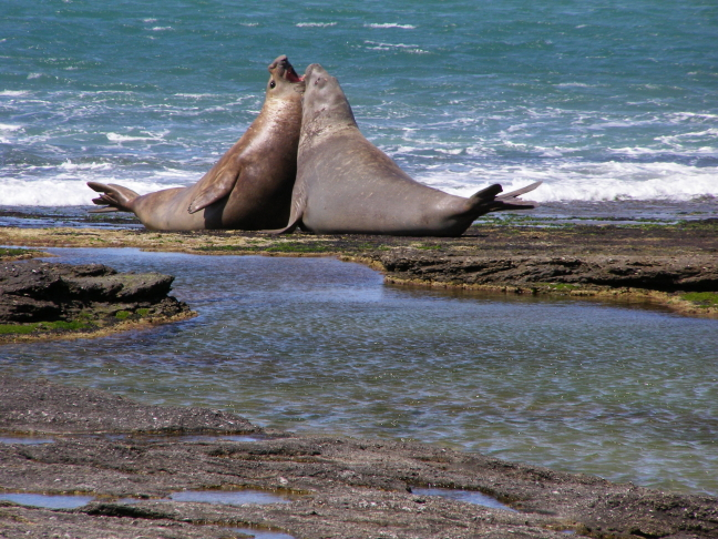 Zee-olifantenstrijd