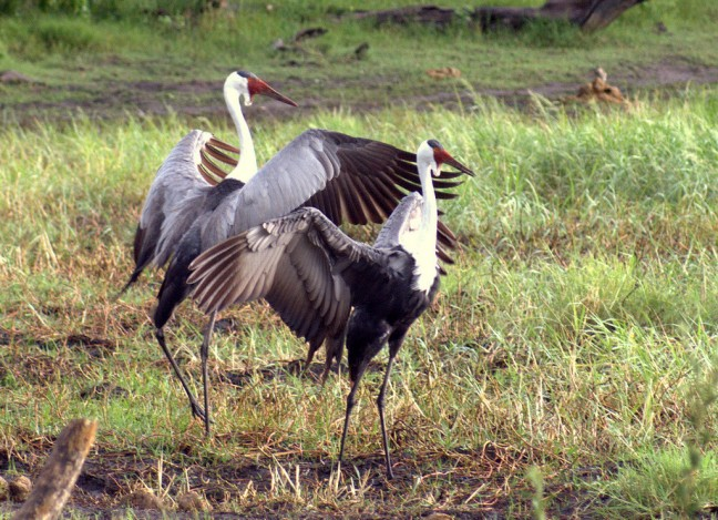 Lelkraanvogel