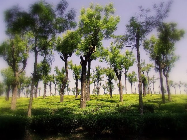 Theeplantage Nilgiri Hills