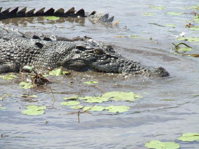 Croc in het Kakadu National Park