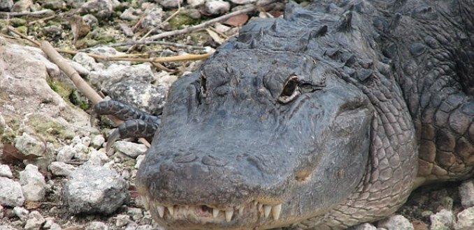 Everglades NP. Alligator's !