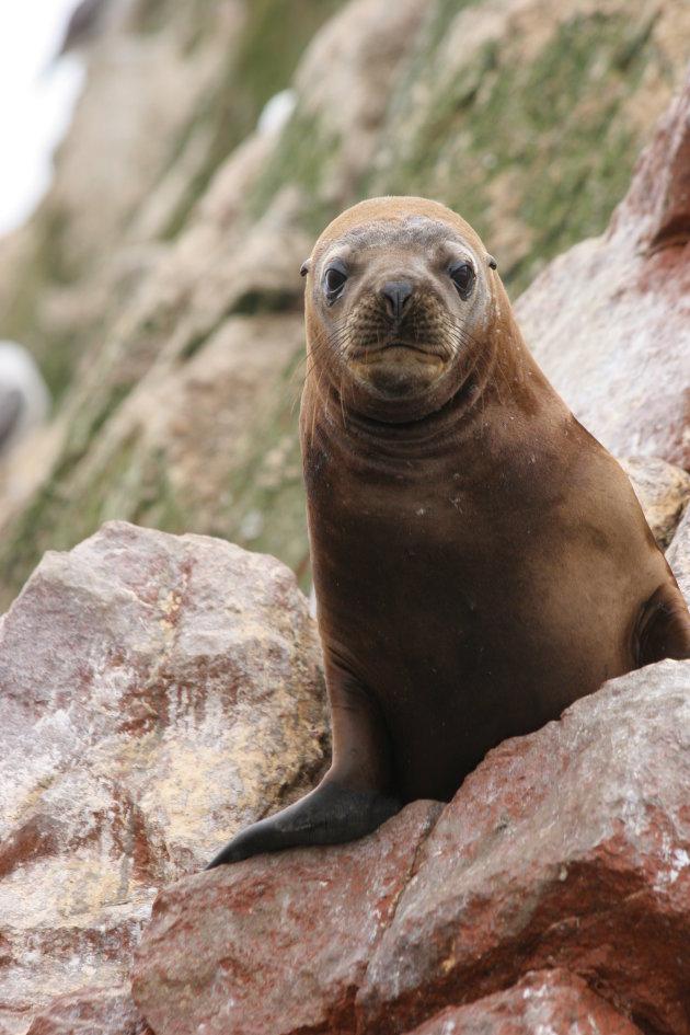 Poserende zeeleeuw