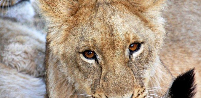 leeuwinnetje