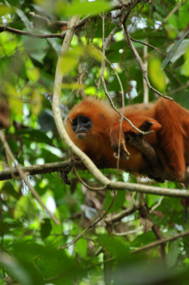 Red Leave Monkey