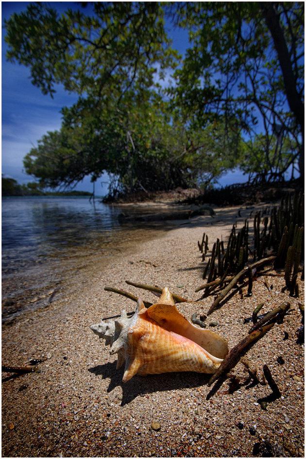 Conch Guliver Island
