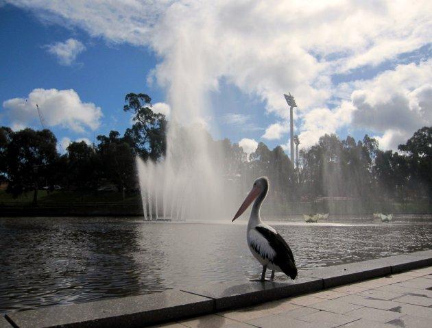 Pelikaan bij fontein