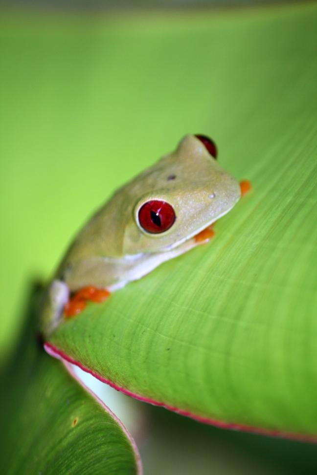 Rode ogen