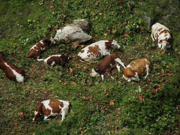 Koeien in het Alpengras.