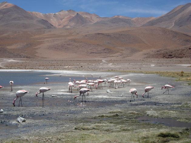 flamingo's in de woestijn op zo'n 4000m hoogte