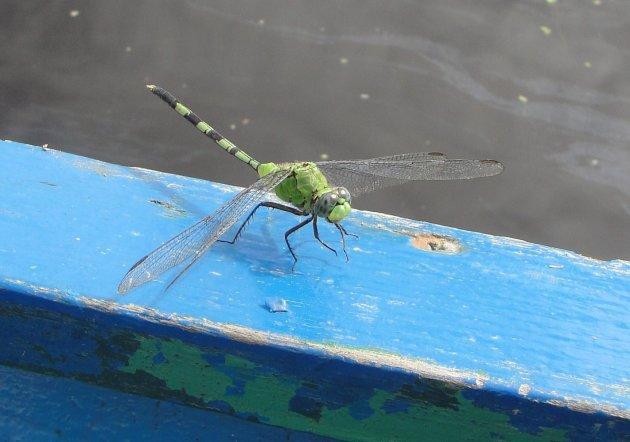 Libelle in Bigi Pan