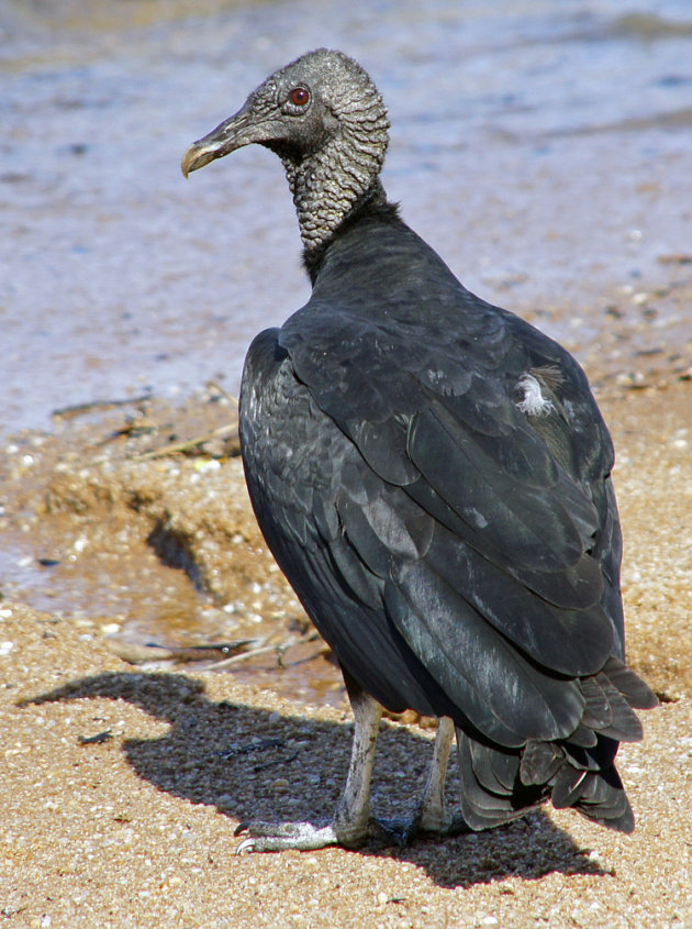 zwarte gier