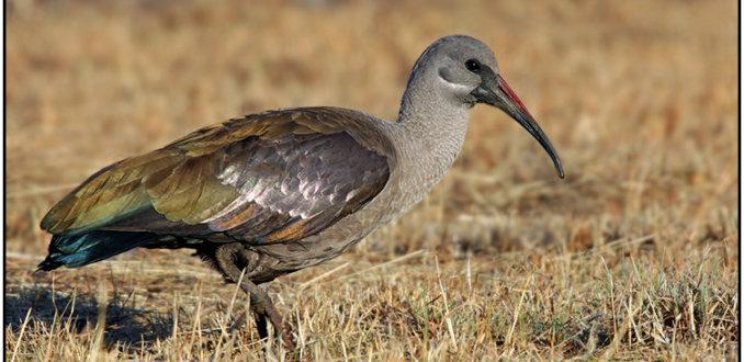 Hadada-ibis