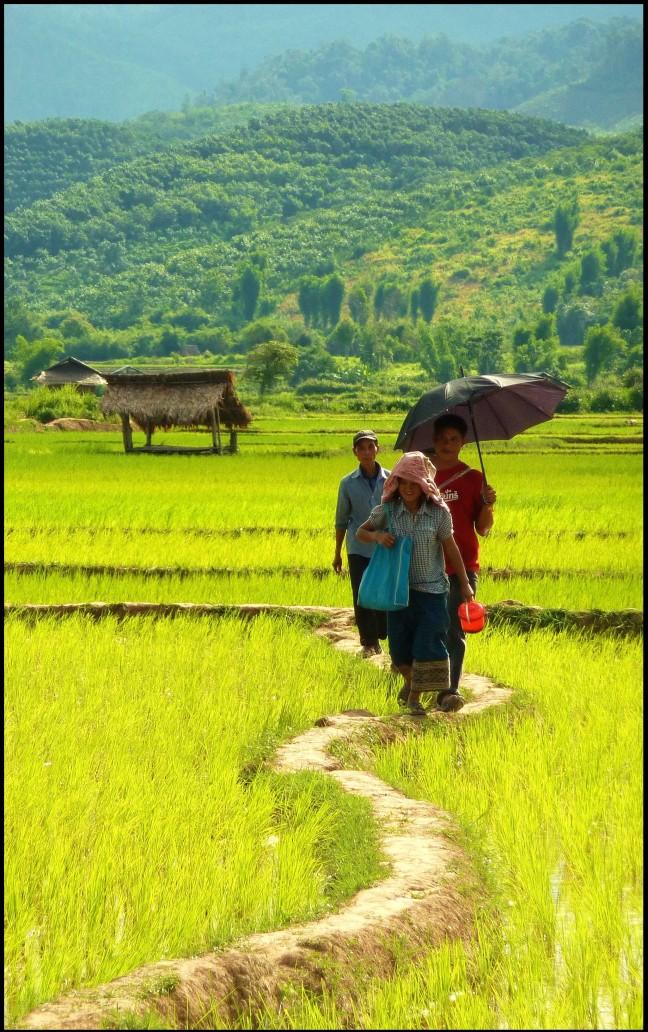 Rijstvelden van Laos