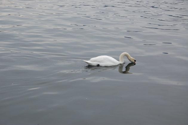 Zwaan in de Zürichsee